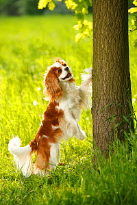Cavalier King Charles Spaniel, Blenheim, standing up against oak tree trunk  -  Petra Wegner