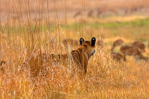 Bengal tiger (Panthera tigris tigris) stalking a herd of Chital deer using long grass as cover, Bandhavagah NP, Madhya Pradesh, India - David Woodfall