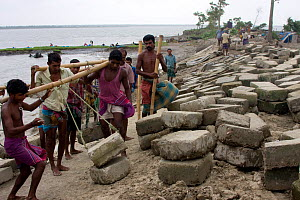 Building a sea wall to combat climate change and protect fishing village from flooding, Sundarbans, Bangladesh, October 2008  -  David Woodfall