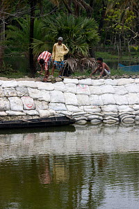Men buiding sea wall to combat rising sea levels, climate change, Ganges delta, Bangladesh, July 2008  -  David Woodfall