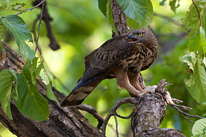 Crested serpent eagle (Spilornis cheela) feeding on  young Peacock chick which it has killed, Sal forest, Bandhavgah NP, Madhya Pradesh, India  -  David Woodfall