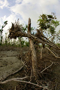 Mangrove forest destroyed by typhoon Sidr in November 2007, Sundarbans NP, Bangladesh, November 2008  -  David Woodfall