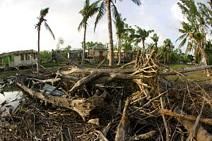 Trees damage by typhoon Sidr in November 2007, Sundarbans, Bangladesh, November 2008 - David Woodfall