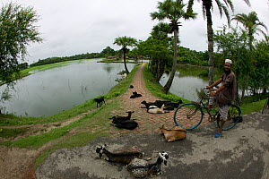 Bangladeshi on bike with herd of goats, traditional agriculture beside commercial shrimp ponds, Ganges delta, Bangladesh, November 2008 - David Woodfall