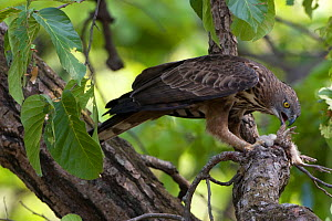 Crested serpent eagle (Spilornis cheela) feeding on  young Peacock which it has killed Sal forest, Bandhavgarh NP, Madhya Pradesh, India, November 2008  -  David Woodfall