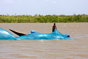 Man fishing with net from boat on shrimp farm, Sundarbans, Bangladesh, November 2008 - David Woodfall