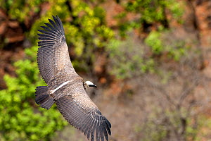 Indian white-rumped vulture (Gyps bengalensis) in flight over Sal forest, Bandhavgah National Park, Madhya Pradesh, India, November - David Woodfall
