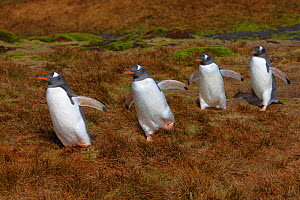 Gentoo penguins (Pygoscelis papua) walking to the beach, Stromness Bay, South Georgia Island, Southern Ocean, Antarctic Convergence. November - Ingo Arndt