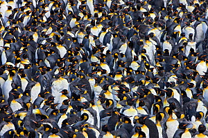 A large group of King Penguin (Aptenodytes patagonicus) moulting, St Andrews Bay, South Georgia Island, Southern Ocean, Antarctic Convergence. - Ingo Arndt