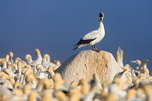Cape Gannet (Sula capensis) perched on a rock whilst calling, nesting colony, Lamberts Bay, South Africa.  -  Ingo Arndt