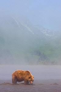Grizzly Bear (Ursus arctos horribilis) digging for clams on tidal flats, Lake Clark National Park, Alaska.  -  Ingo Arndt