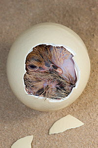 Ostrich (Struthio camelus) chick hatching from egg, Africa, captive. - Ingo Arndt