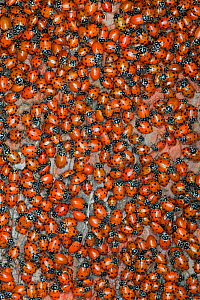 Ladybirds (Hippodamia convergens) gathering to mate, California, USA.  -  Ingo Arndt