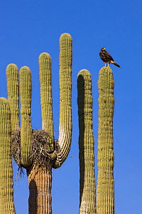 Harris' hawk (Parabuteo unicinctus) at nest in Saguaro (Carnegiea gigantea) cactus, Saguaro National Park, Arizona, USA.  -  Ingo Arndt