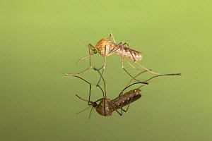 Mosquito (Culicidae) freshly hatched sitting on water surface with reflection, Germany.  -  Ingo Arndt