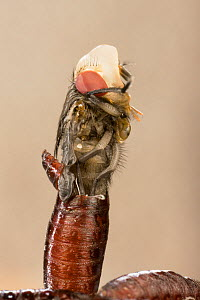 Bluebottle Fly (Calliphora erythrocephala) hatching from coccoon, Germany. - Ingo Arndt