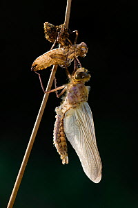 Four spotted libellula dragonfly / (Libellula quadrimaculata) adult freshly emerged from larval case, Germany.  -  Ingo Arndt