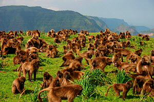 Gelada baboon (Theropithecus gelada) group grazing, filmed for the Mountains episode of the BBC tv series Planet Earth, Simien Mountains National Park, Ethiopia, Oct 2003  -  Chadden Hunter