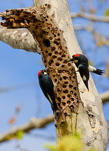 Acorn Woodpeckers (Melanerpes formicivorus), male and female (right) interacting on sycamore branch where acorns are stored, Orange County, California, USA  -  Marie Read