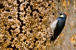 Acorn Woodpecker (Melanerpes formicivorus), male at granary tree showing many acorns stored for winter survival, Orange County, California, USA  -  Marie Read