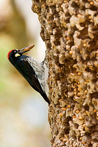 Acorn Woodpecker (Melanerpes formicivorus), male with acorn in its bill, at granary tree showing many acorns stored for winter survival, Orange County, California, USA  -  Marie Read