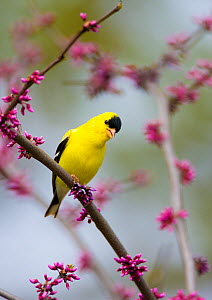American Goldfinch (Carduelis tristis) male singing, perched in eastern redbud in spring, New York, USA - Marie Read