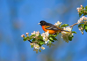 Baltimore / Northern Oriole (Icterus galbula) male perched on apple blossom, New York, USA  -  Marie Read