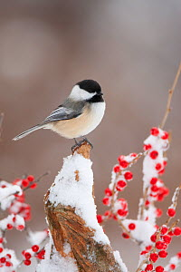 Black-capped Chickadee (Poecile atricapillus) perched on snow-covered stump amid winterberry (Ilex verticillata) berries, New York, USA  -  Marie Read