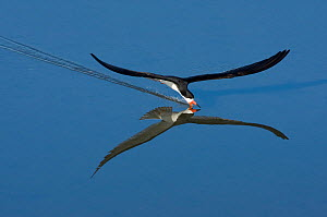 Black Skimmer (Rynchops nigra), skimming with its open beak just below the water's surface in search of prey, Bolsa Chica Ecological Reserve, California, USA (Digitally retouched image - space added... - Marie Read