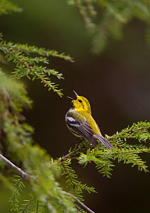 Black-throated Green Warbler (Dendroica virens), male in breeding plumage singing from hemlock branch, New York, USA  -  Marie Read