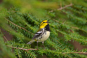 Black-throated Green Warbler (Dendroica virens), male in breeding plumage singing from hemlock bough, New York, USA  -  Marie Read