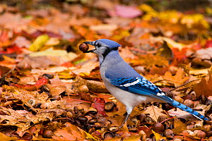 Blue Jay (Cyanocitta cristata) collecting acorns to store over winter, New York, USA  -  Marie Read