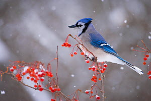 Blue Jay (Cyanocitta cristata) perched with red berries and falling snow in winter, New York, USA - Marie Read