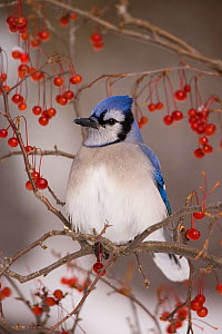 Blue Jay (Cyanocitta cristata) perched with red berries in winter, New York, USA  -  Marie Read