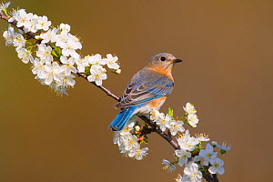Eastern Bluebird (Sialia sialis) female perched amongst cherry blossom in spring, New York, USA - Marie Read
