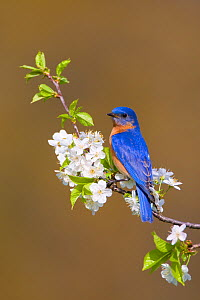 Eastern Bluebird (Sialia sialis) male perched amongst cherry blossom in spring, New York, USA - Marie Read