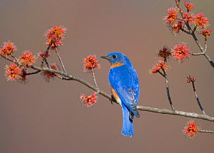 Eastern Bluebird (Sialia sialis), male perched on flowering Red Maple (Acer rubrum) branch, New York, USA  -  Marie Read