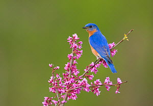 Eastern Bluebird (Sialia sialis) male perched on flowering eastern redbud in spring, New York, USA (Digitally retouched image - flower cleanup) - Marie Read