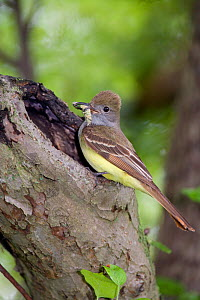 Great Crested Flycatcher (Myiarchus crinitus), bringing caterpillar to nest hole in old apple tree, New York, USA  -  Marie Read