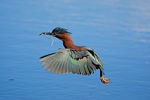 Green Heron (Butorides virescens) in flight over water, carrying nest material, Orlando, Florida, USA  -  Marie Read