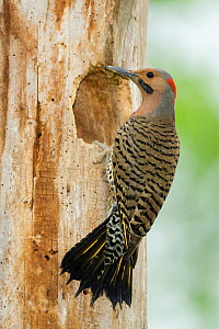 Northern Flicker (Colaptes auratus), yellow-shafted form, male at nest hole in tree trunk, New York, USA. Note the tail being used as a prop.  -  Marie Read