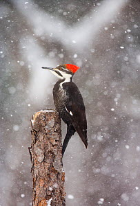 Pileated woodpecker (Dryocopus pileatus) female perched during snowstorm, New York, USA  -  Marie Read