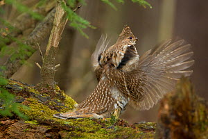 Ruffed Grouse (Bonasa umbellus) male drumming on moss-covered log in early spring, New York, USA  -  Marie Read