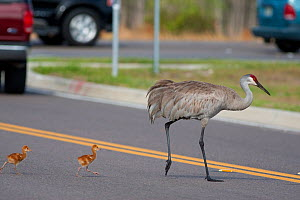 Sandhill Cranes (Grus canadensis) (Florida race), adult with two small chicks crossing road, Kissimmee, Florida, USA  -  Marie Read