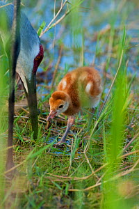 Sandhill Crane (Grus canadensis), Florida race, chick with food given by adult, Orlando, Florida, USA  -  Marie Read