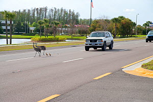 Sandhill Cranes (Grus canadensis) (Florida race), pair with two small chicks crossing highway, near Kissimmee, Florida, USA  -  Marie Read