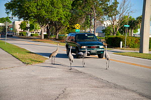 Sandhill Cranes (Grus canadensis), group in a city street, Kissimmee, Florida, USA  -  Marie Read