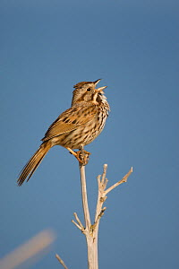Song Sparrow (Melospiza / Zonotrichia melodia) male singing, Montezuma National Wildlife Refuge, New York, USA (Digitally retouched image - distractions at left edge removed)  -  Marie Read