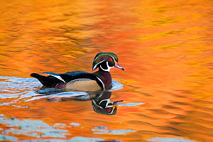 Wood Duck (Aix sponsa), male on water with autumn colour reflected in water, Ohio, USA  -  Marie Read