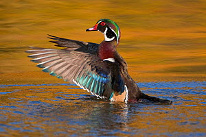 Wood Duck (Aix sponsa), male flapping its wings, autumn colour reflected in water, Ohio, USA  -  Marie Read
